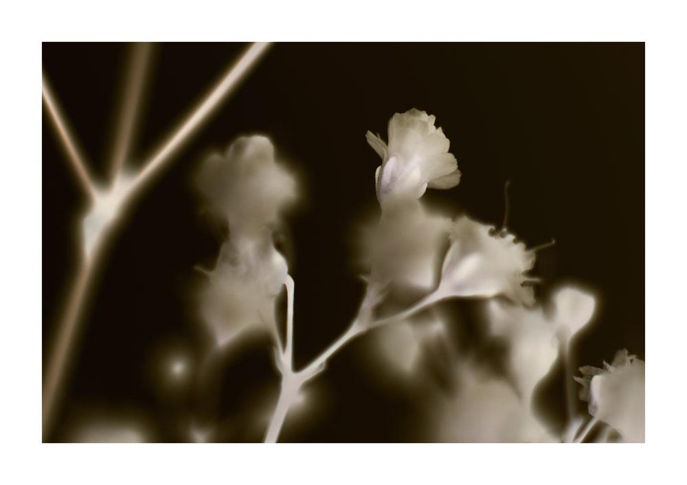 frauke-staerk_flowers_schleierkraut-01